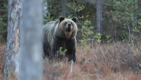 Karhun ääni