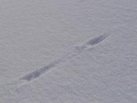 Lumikko Jäljet