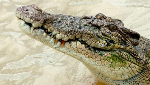 Crocodile Huume